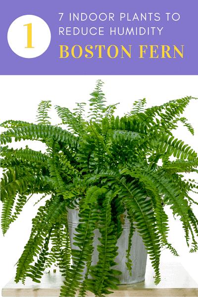 Boston Fern