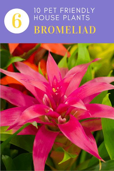 Bromelian Plant
