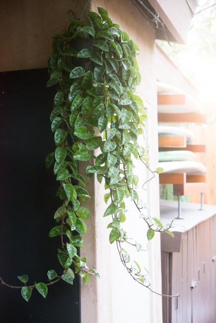 indoor trailing plants